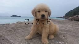 Cães da raça Golden Retriever + pedigree, garantia e recibo. +