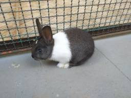 Vendo filhote coelho Mini Holandês