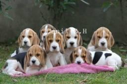 !!! Beagle padrão para ponta entrega, com pedigree. !!!