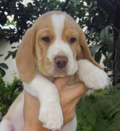 Beagle disponíveis para entrega, com recibo, garantia e pedigree