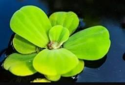 Alface d água ótima planta para sistema rás e aquarismo planta de superficie