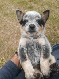 Australian Cattle Dog, com recibo e pedigree