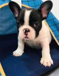 Bulldog Frances fofinho