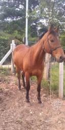 Cavalo Quarto de milha de barbada