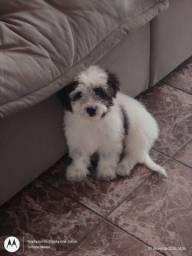 Poodle macho, 3 meses, vacinado