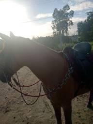 Cavalo mangalarga com campolino