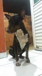 Bull Terrier Inglês ( Fêmea )