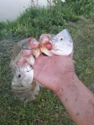 Passo Produção De Peixes Quase Para Retirada.