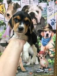 Beagles lindos  ?