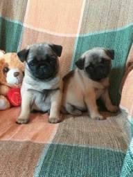 Pug/ Pronta Entrega Filhotes Top