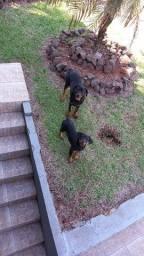 Casal de rottweilers. 2 mil reais