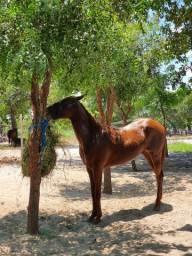 Potro Quarto de Milha PO Cavalo