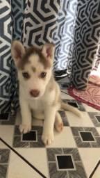 Filhote de Husky siberiano macho 38 dias