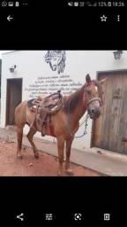 Cavalo puro sem papel laço cabeça bruto nu boi vendo ou troco por algo do meu interesse
