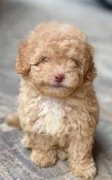 Poodle toyzinho muito pequeno com pedigree