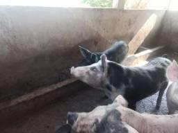 Porcos grandes