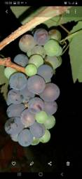 Mudas de uva, niagra rosa, Rio Branco Acre