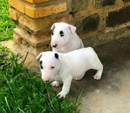Lindas fêmeas filhotes de Bull Terrier Inglês