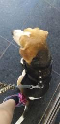 Vendo ou troco beagle fêmea por outra raça