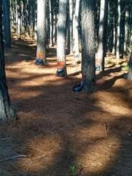 Procuro Pinus eliot