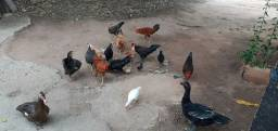Galos,galinhas e patos