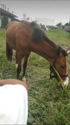 Cavalo potro 1 ano e 7 meses