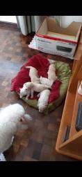 Poodle toy disponível