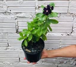 Planta vinca lilás