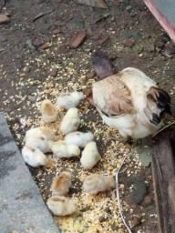 Galinha Caipira ourac 12 filhotes (27) *)