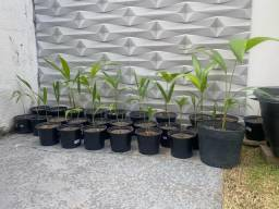 Muda de palmeiras