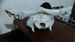 cranio de boi, esqueleto, cabeça