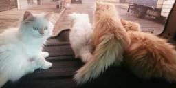 Gato Persa Himalaia Branco macho