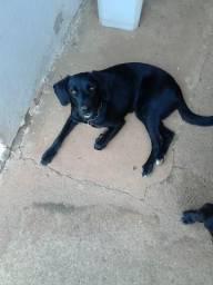Labrador com vira lata