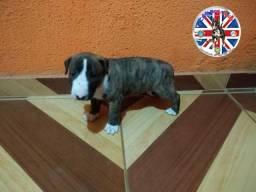 Bull terrier Black Friday