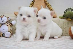 Chihuahuas Machinhos