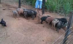 Venda de porco Caipira