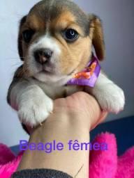 Fêmea de beagle preços ótimos