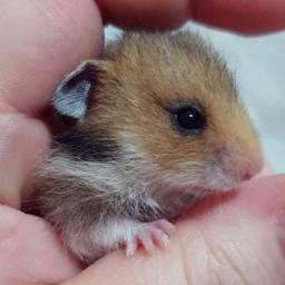 Troco filhote de hamster sírio fêmea por angorá do mesmo sexo