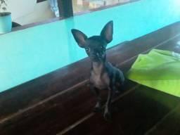 Cachorro Pincher N°1