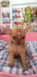 Chihuahua fêmea disponível