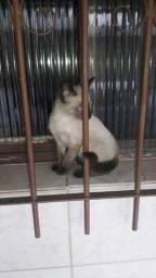 Filhote Gato Siamês Puríssimo