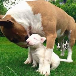 Bull Terrier -Lindos filhotes disponíveis, confira