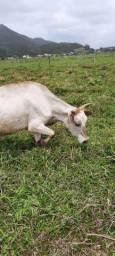 Mini vaca