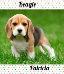 Beagle encantador para você