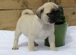 Maravilhosos Pug's Com Garantia Em Contrato!!