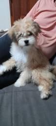 Vendo filhote de Lhasa-Apso 3 meses machinho