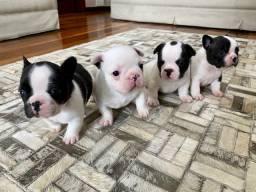 Filhotes de bulldog francês de alto padrão - Pedigree Cbkc