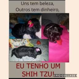 Shihtzu Femia disponível