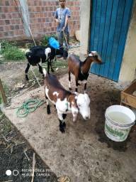 Vendo uma cabra com dois bode