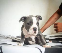 American bully disponivel!